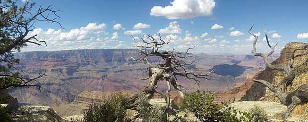 Ett gammalt träd i Grand Canyon en vacker dag.